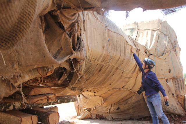 Vụ CSGT bắt 3 xe chở cây khổng lồ: Tiền mua cây khủng chỉ 14 triệu đồng - Ảnh 2.