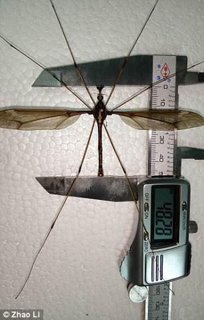 Làm gì thì làm cũng đừng để con muỗi to nhất thế giới này đậu trên người bạn - Ảnh 1.