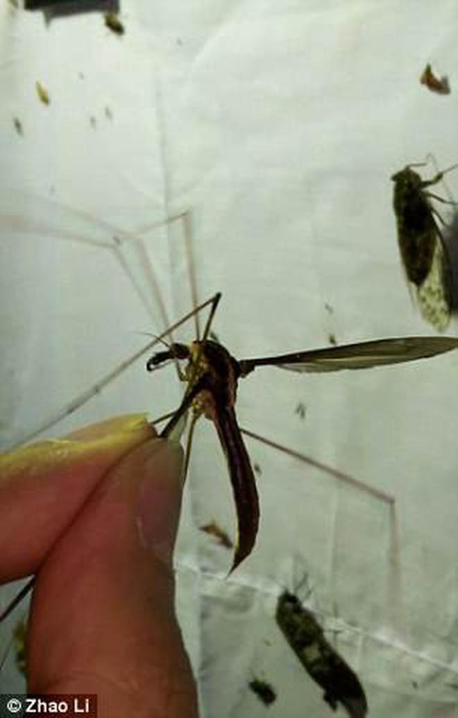 Làm gì thì làm cũng đừng để con muỗi to nhất thế giới này đậu trên người bạn - Ảnh 2.