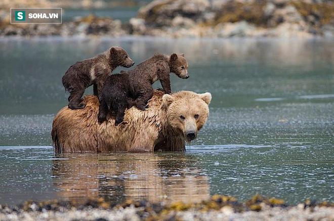 Tình mẫu tử giới động vật: Gấu mẹ đặt 2 đứa con lên bụng, bơi ngửa qua hồ nước lạnh - Ảnh 1.