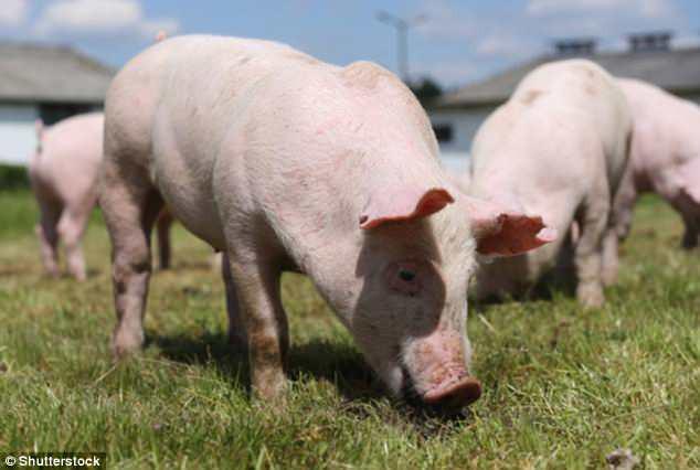 Giữ được não lợn sống sau khi bị chặt đầu, lần đầu tiên mở ra con đường giúp nhân loại bất tử - Ảnh 3.