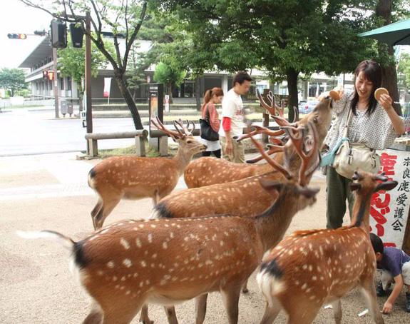 Hơn 200 vụ hươu cắn khách du lịch ở công viên Nhật Bản, chính quyền phải gấp rút ra bản hướng dẫn cho hươu ăn an toàn - Ảnh 2.