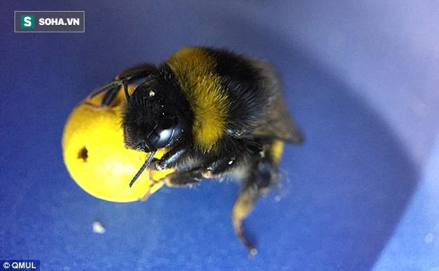 Chưa tới 1 tháng nữa là tới World Cup, những chú ong này đã được rèn luyện để đá bóng! - Ảnh 1.