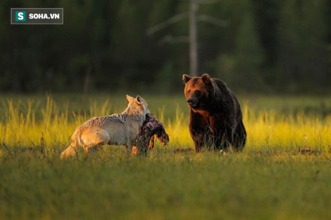 Mất bao công sức mới săn được hươu, gấu mẹ bần thần đứng nhìn kẻ thù đến cướp - Ảnh 1.