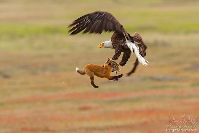 Nhiếp ảnh gia chụp được chùm ảnh siêu hiếm: Đại bàng nhấc bổng con cáo lên không trung, chiến đấu 8 giây vì con thỏ trong miệng cáo - Ảnh 2.