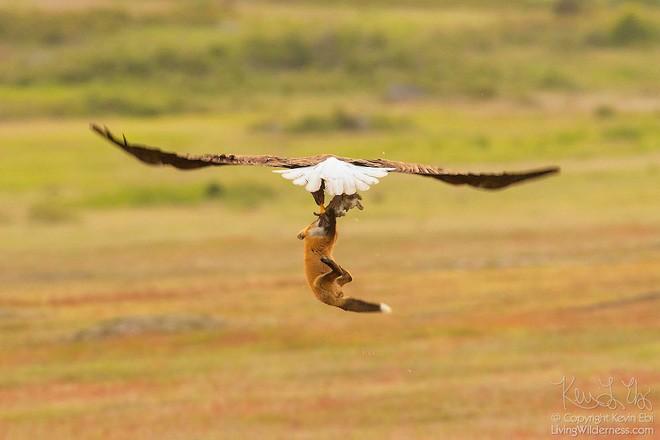 Nhiếp ảnh gia chụp được chùm ảnh siêu hiếm: Đại bàng nhấc bổng con cáo lên không trung, chiến đấu 8 giây vì con thỏ trong miệng cáo - Ảnh 4.