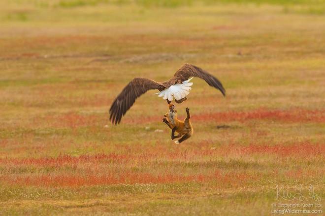 Nhiếp ảnh gia chụp được chùm ảnh siêu hiếm: Đại bàng nhấc bổng con cáo lên không trung, chiến đấu 8 giây vì con thỏ trong miệng cáo - Ảnh 5.