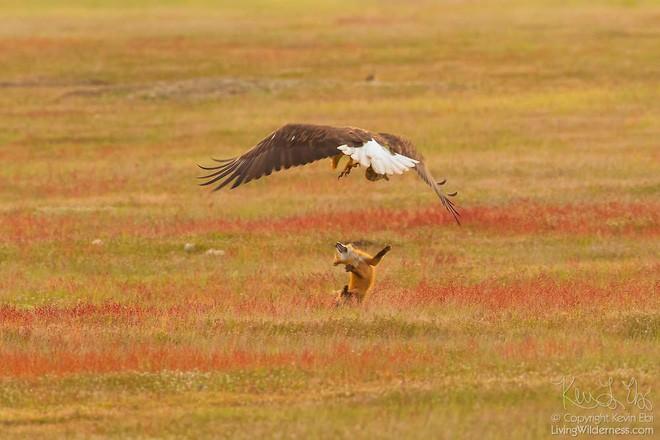 Nhiếp ảnh gia chụp được chùm ảnh siêu hiếm: Đại bàng nhấc bổng con cáo lên không trung, chiến đấu 8 giây vì con thỏ trong miệng cáo - Ảnh 6.