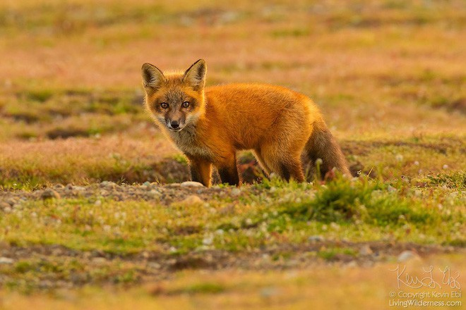 Nhiếp ảnh gia chụp được chùm ảnh siêu hiếm: Đại bàng nhấc bổng con cáo lên không trung, chiến đấu 8 giây vì con thỏ trong miệng cáo - Ảnh 7.