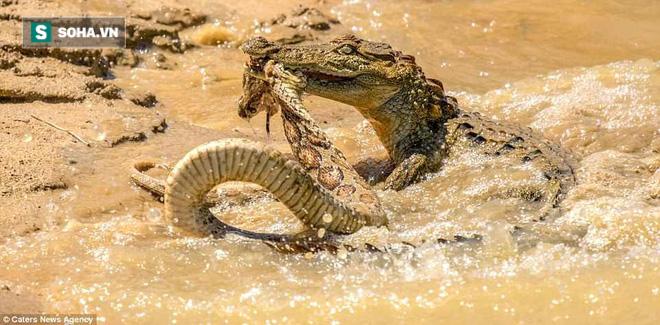 Sở hữu nọc độc chết người, rắn hổ bướm ác chiến cá sấu dưới hồ nước - Ảnh 2.