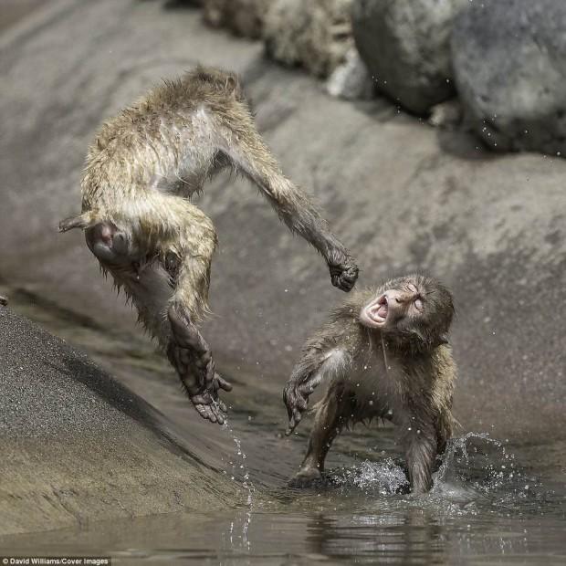 Khỉ đánh nhau chuyên nghiệp như võ sĩ khiến nhiếp ảnh gia được phen rửa mắt - Ảnh 1.