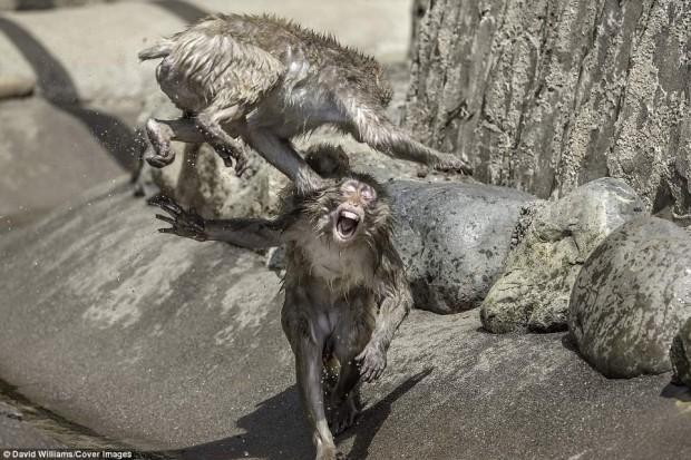Khỉ đánh nhau chuyên nghiệp như võ sĩ khiến nhiếp ảnh gia được phen rửa mắt - Ảnh 2.