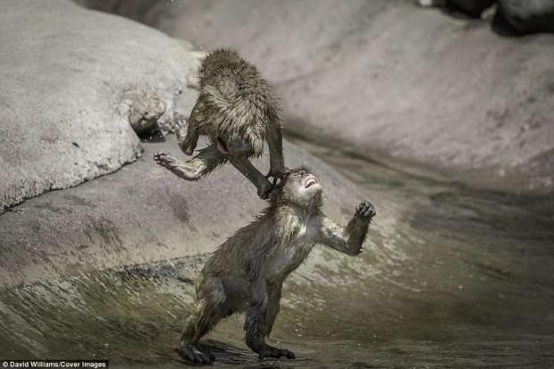Khỉ đánh nhau chuyên nghiệp như võ sĩ khiến nhiếp ảnh gia được phen rửa mắt - Ảnh 3.