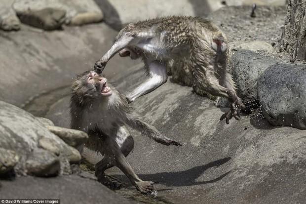 Khỉ đánh nhau chuyên nghiệp như võ sĩ khiến nhiếp ảnh gia được phen rửa mắt - Ảnh 4.