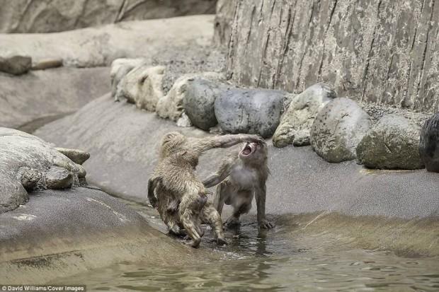 Khỉ đánh nhau chuyên nghiệp như võ sĩ khiến nhiếp ảnh gia được phen rửa mắt - Ảnh 5.