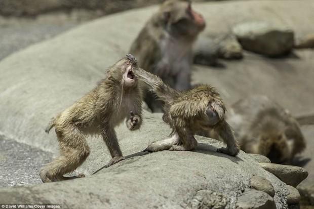 Khỉ đánh nhau chuyên nghiệp như võ sĩ khiến nhiếp ảnh gia được phen rửa mắt - Ảnh 6.