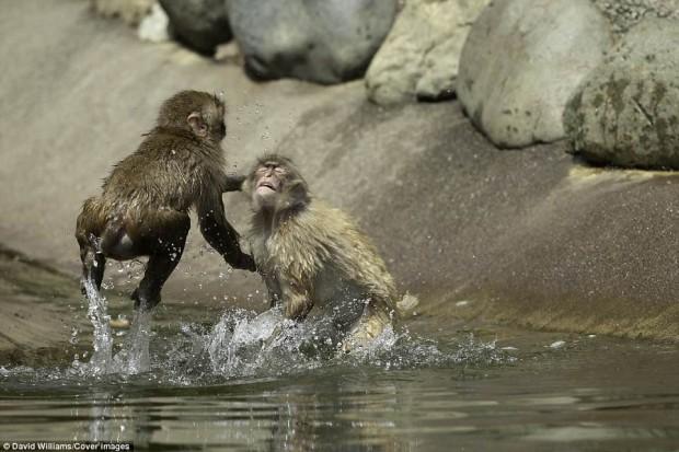 Khỉ đánh nhau chuyên nghiệp như võ sĩ khiến nhiếp ảnh gia được phen rửa mắt - Ảnh 7.