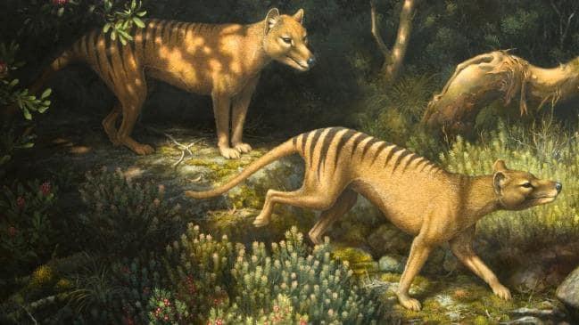 Loài hổ vằn có túi đã tuyệt chủng gần 100 năm trước phải chăng sắp được hồi sinh? - Ảnh 2.