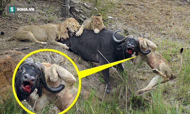 Sư tử cái bị trâu nước xuyên thủng ngực, 4 con khác lao vào cứu: Kết cục sau 2 giờ ra sao? - Ảnh 1.