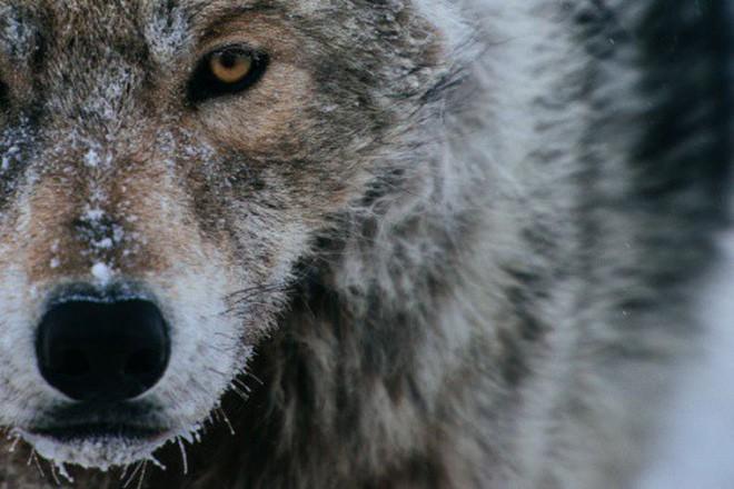 Đằng sau chú sói Zabivaka là cả một bầu trời thần thoại mà ai trót yêu nước Nga đều biết đến - Ảnh 7.
