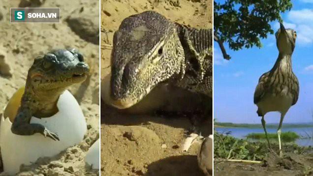 Đi trộm trứng cá sấu, kỳ đà thất bại trong gang tấc chỉ vì lũ gián điệp này - Ảnh 1.