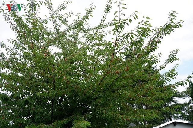 Trái cây ngoại siêu đắt ở Việt Nam là cây dại ở nước ngoài? - Ảnh 11.
