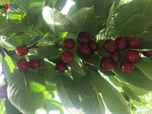 Trái cây ngoại siêu đắt ở Việt Nam là cây dại ở nước ngoài? - Ảnh 12.