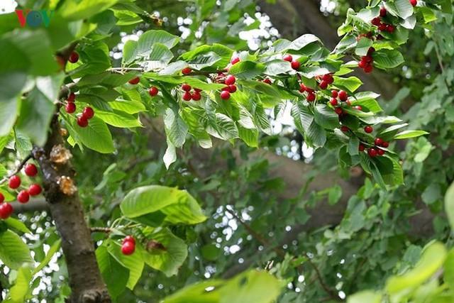 Trái cây ngoại siêu đắt ở Việt Nam là cây dại ở nước ngoài? - Ảnh 4.