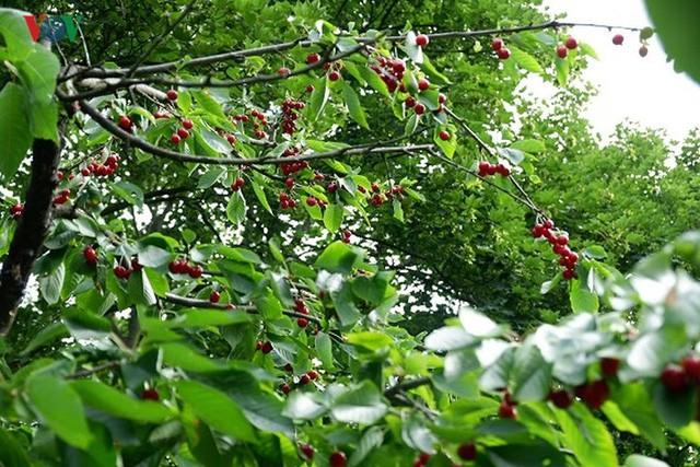 Trái cây ngoại siêu đắt ở Việt Nam là cây dại ở nước ngoài? - Ảnh 5.