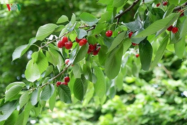 Trái cây ngoại siêu đắt ở Việt Nam là cây dại ở nước ngoài? - Ảnh 6.