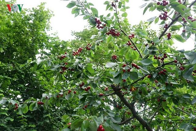Trái cây ngoại siêu đắt ở Việt Nam là cây dại ở nước ngoài? - Ảnh 10.