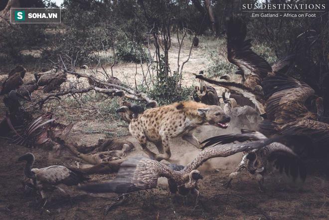 Đại tiệc tranh giành xác thối: Bầy linh cẩu hỗn chiến với hàng chục con kền kền - Ảnh 1.