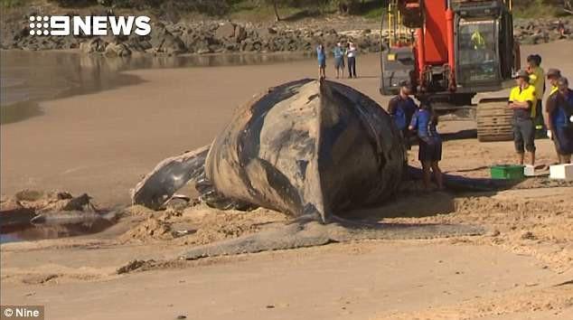 Giới chức trách Úc ra lệnh di chuyển khẩn cấp xác cá voi trương phồng phòng khi thảm họa này xảy ra - Ảnh 2.