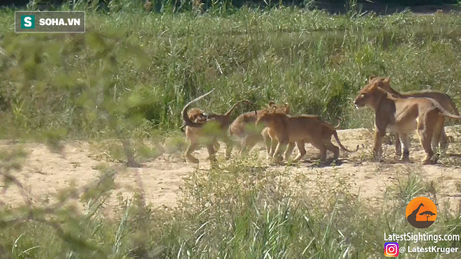 Non kinh nghiệm, sư tử bất ngờ bị trâu rừng tấn công, húc văng 2-3 vòng trên không - Ảnh 1.