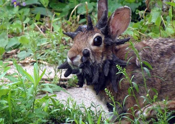 """Jackalope: Từ huyền thoại thỏ sừng nai trong truyện dân gian Mỹ đến những con thỏ """"quái vật"""" ngoài đời thực vì căn bệnh đáng sợ - Ảnh 5."""