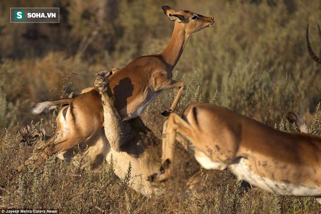Vật vã mãi mới giết được linh dương, sư tử vẫn nhịn đói vì sự cố bất ngờ - Ảnh 1.