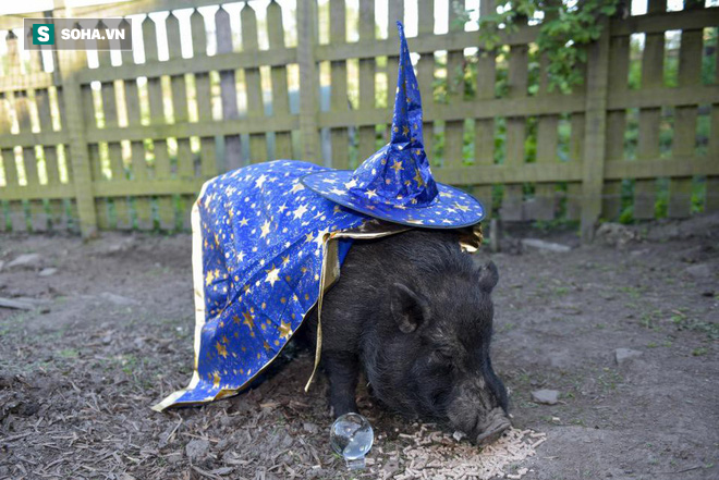 Chú lợn tiên tri bị dọa lên thớt vì dự báo sai về tuyển Anh - Ảnh 2.