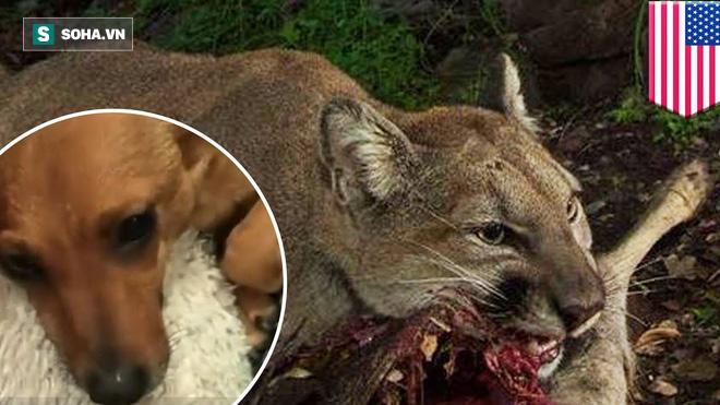 Không tự lượng sức, chó nhà trả giá đắt khi dồn sư tử đang mang thai vào đường cùng - Ảnh 1.