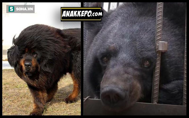 Chó ngao Tây Tạng đánh đuổi cả gấu hoang bằng chiến thuật thông mình - Ảnh 1.