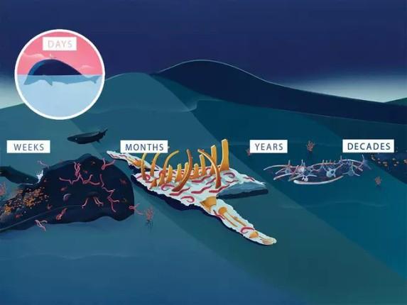 Chuyện gì xảy ra khi cá voi chết đi? Nằm lại dưới đáy biển, nó vẫn có ích đến hàng chục năm sau - Ảnh 1.