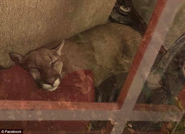 Phát hiện sư tử ghé thăm và ngủ trên ghế suốt 6 tiếng, chủ nhà đã làm 1 việc đáng nể - Ảnh 2.