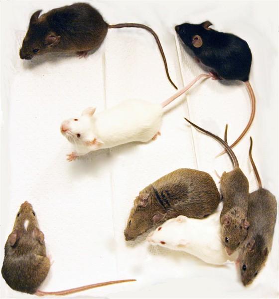 Sự thật khó tin: Một đôi chuột thí nghiệm có thể đắt ngang một chiếc xe hơi tiền tỉ - Ảnh 2.