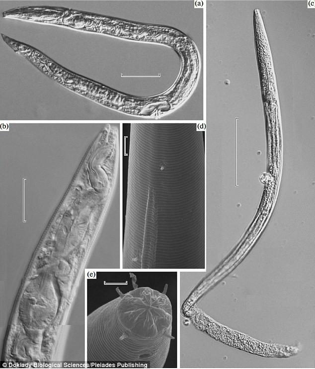 Sinh vật cổ đại 42.000 tuổi này bất ngờ sống lại dưới bàn tay nhà khoa học Nga - Ảnh 2.