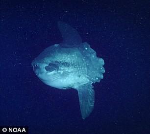 Sinh vật bánh bao, mực đổi màu hay nhiều loài kỳ lạ dưới lòng biển sâu - Ảnh 2.