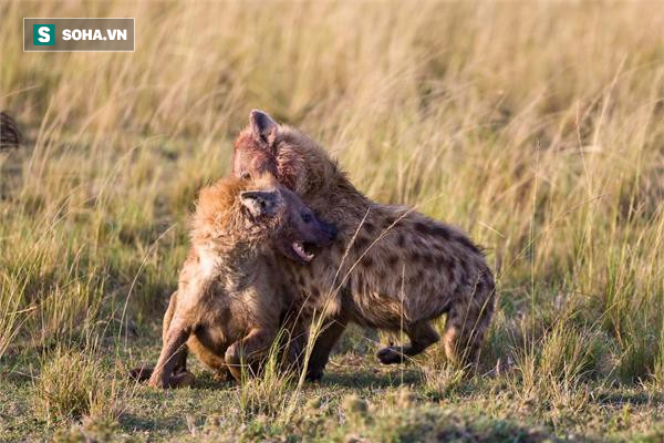 Linh cẩu bị cắn rách toạc cả tai, què cả chân trước khi bị đuổi khỏi đàn - Ảnh 1.