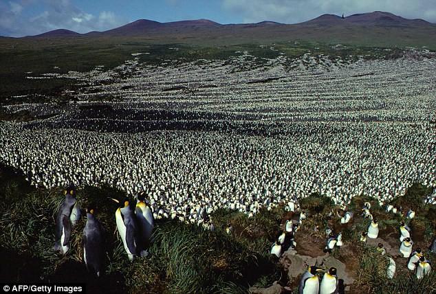 Vương quốc chim cánh cụt lớn nhất thế giới đã sụp đổ một cách bí ẩn mà khoa học vẫn không hiểu tại sao - Ảnh 1.