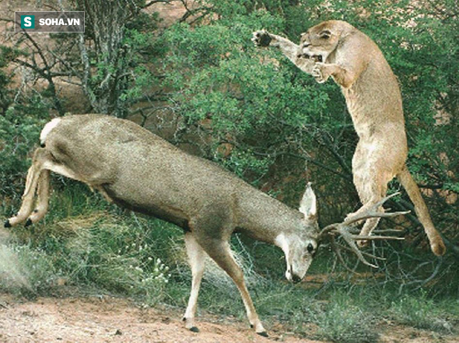 Đoạn phim rất hiếm, ngược đời: Báo sư tử liên tiếp nếm đòn từ 1 con hươu non nớt - Ảnh 1.