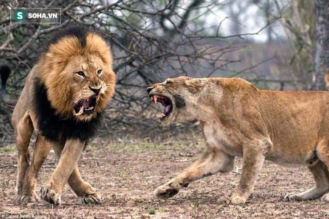 Chuyện hiếm thấy: Sư tử đực tháo chạy, mình đầy thương tích vì bị bầy sư tử cái truy sát - Ảnh 1.