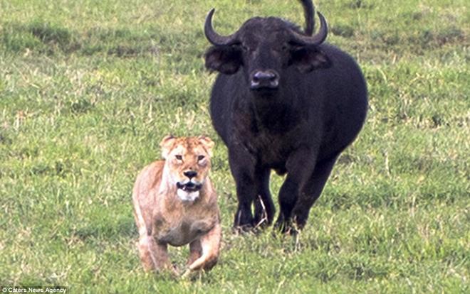 Đang đi săn, sư tử bị chính con mồi rượt đuổi ngược lại - chuyện gì xảy ra tiếp theo? - Ảnh 1.