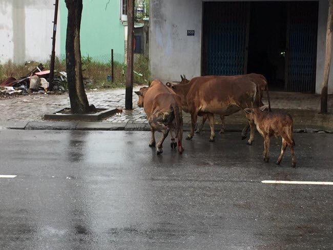 CLIP: Xót xa hình ảnh bò mẹ bị chặt gần đứt chân tập tễnh qua đường - Ảnh 3.